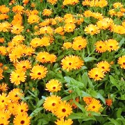Wonderful field of calendula for skin complaints