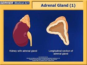 adrenal cortex gland