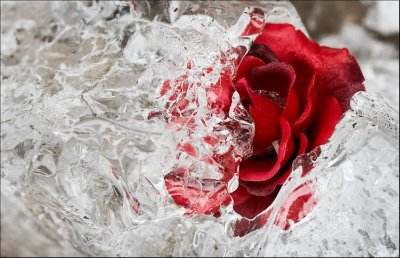 Red rose pictures