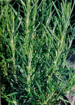 Rosemary in a migraine relief alternative therapy strengthens and detoxifies the liver.