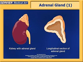 adrenal cortex gland