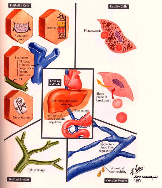 liver functions chart